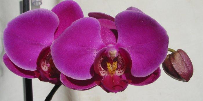 Орхидея (32)
