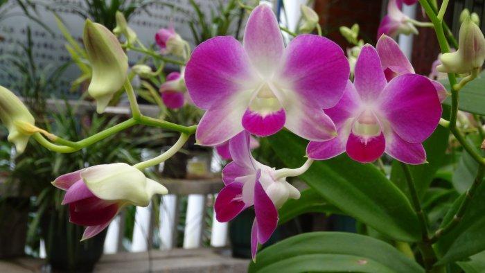 Орхидея (33)