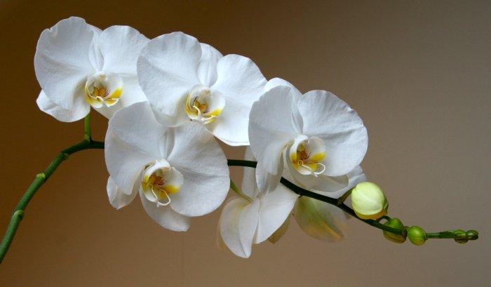 Орхидея (34)