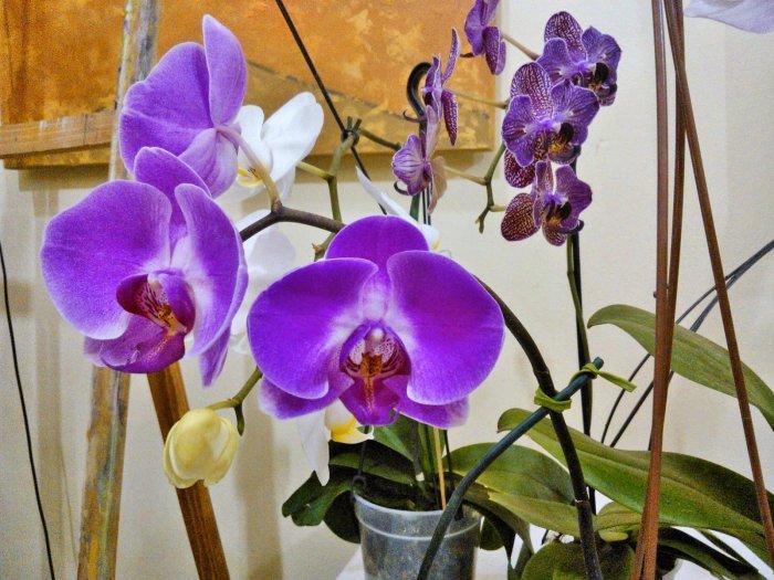Орхидея (35)