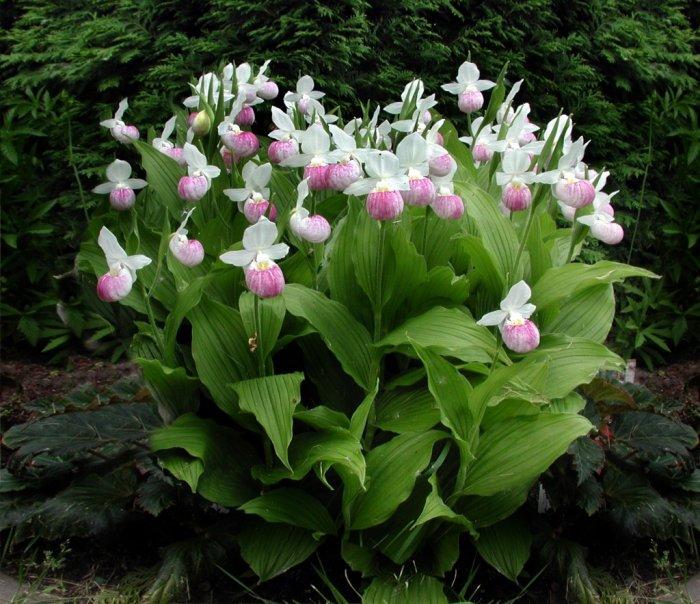 Орхидея (36)
