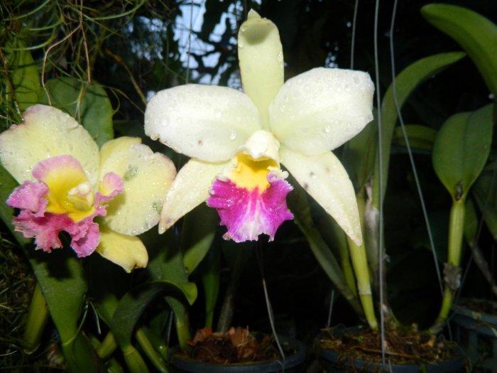 Орхидея (37)