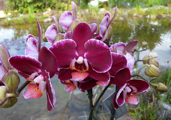 Орхидея (38)