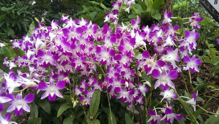 Орхидея (39)