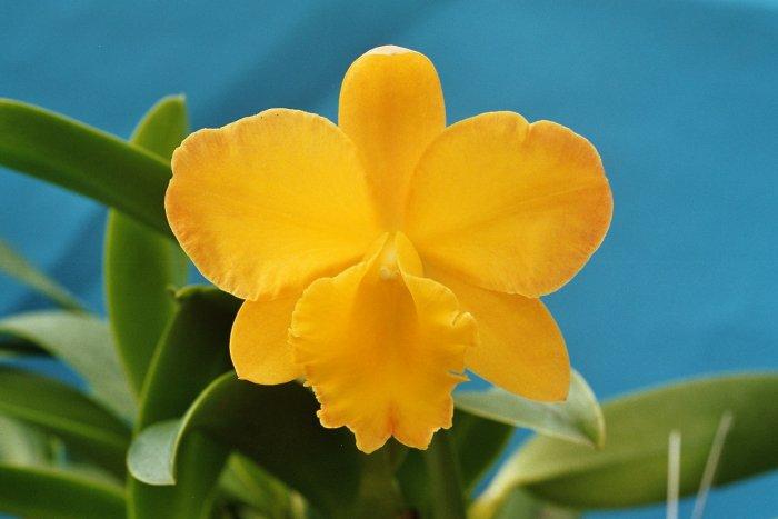 Орхидея (4)