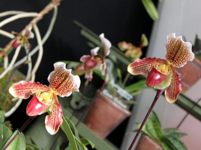 Орхидея (42)