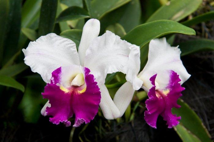 Орхидея (44)