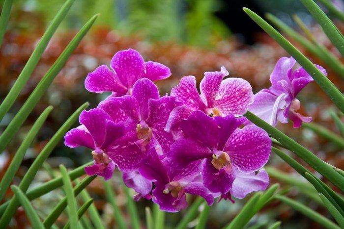 Орхидея (45)
