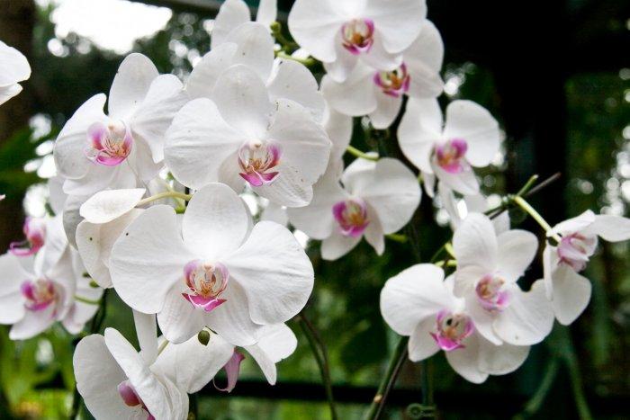 Орхидея (47)