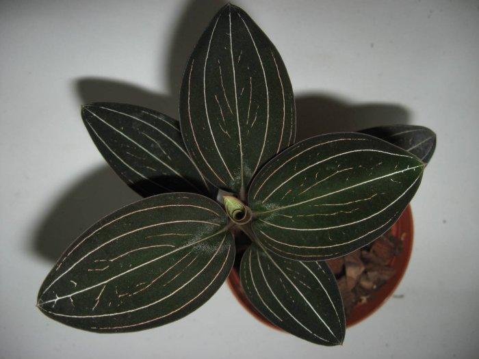 Орхидея (5)