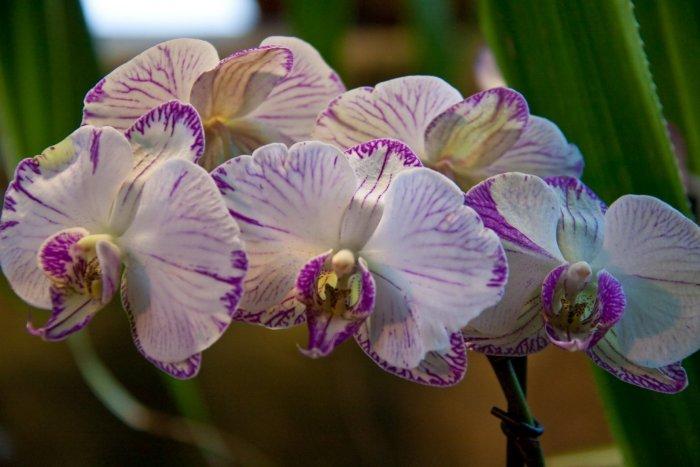 Орхидея (50)