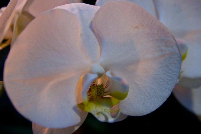 Орхидея (51)