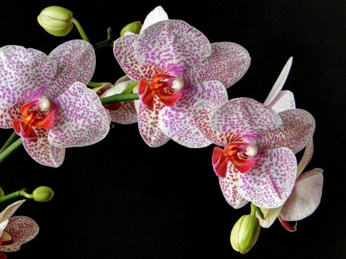 Орхидея (56)