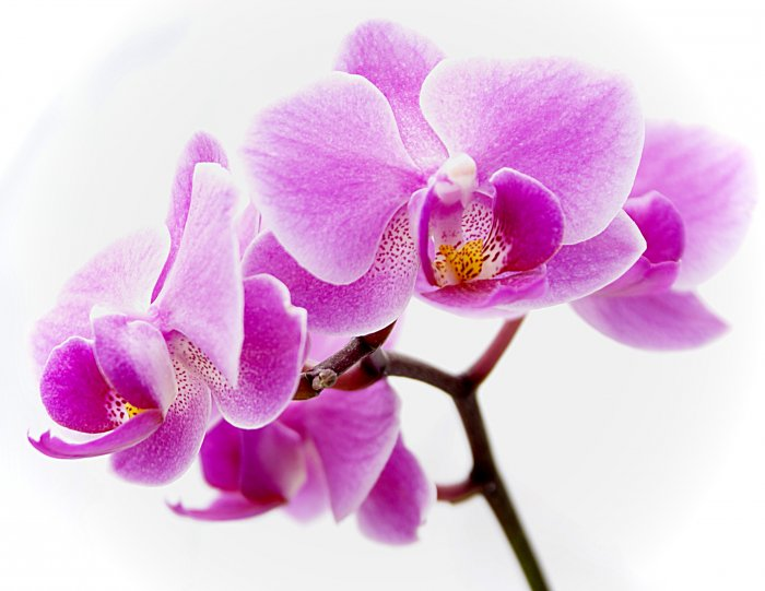 Орхидея (58)