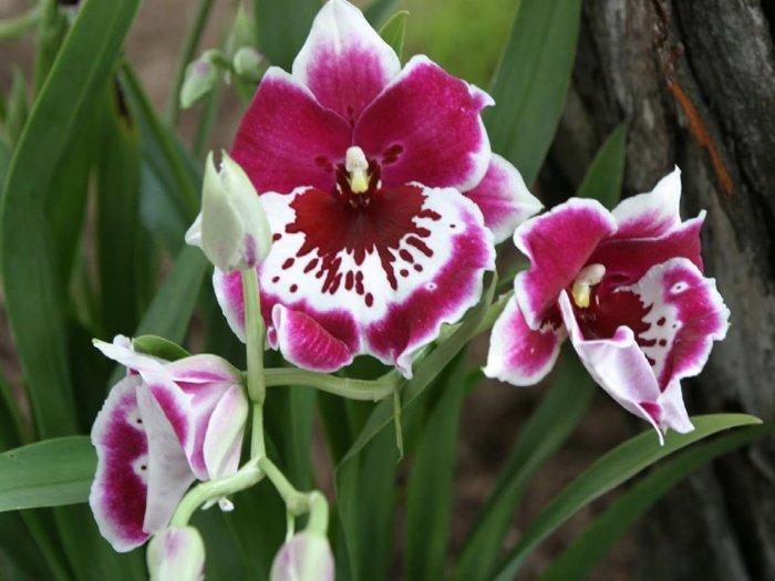 Орхидея (6)