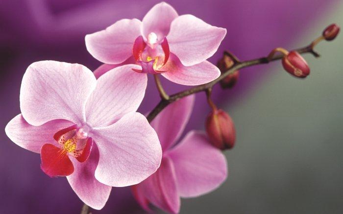Орхидея (60)