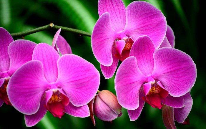 Орхидея (61)