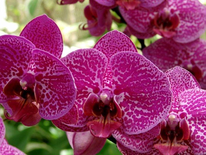 Орхидея (63)