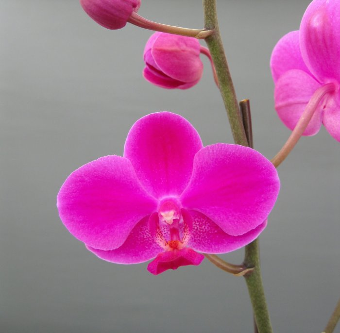 Орхидея (68)