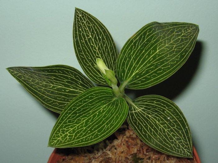 Орхидея (7)