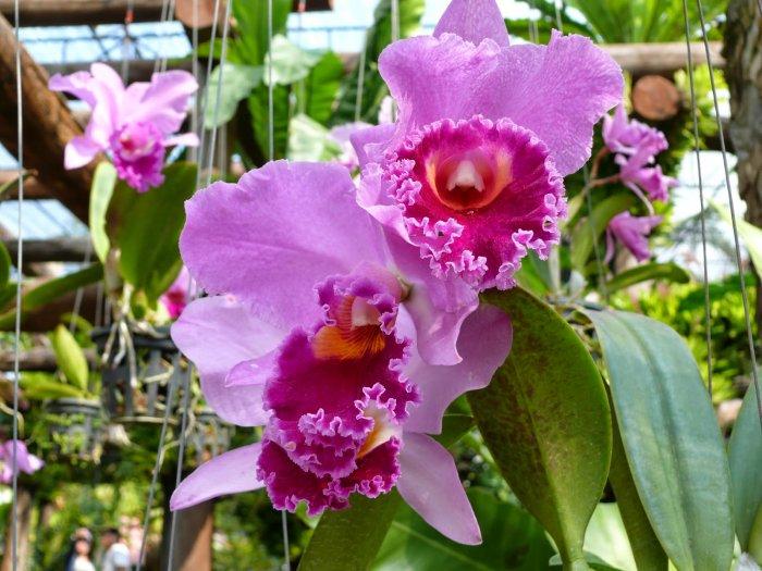 Орхидея (71)