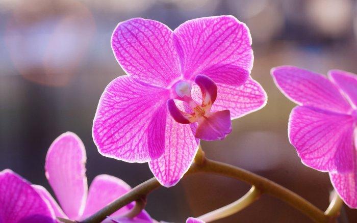 Орхидея (73)