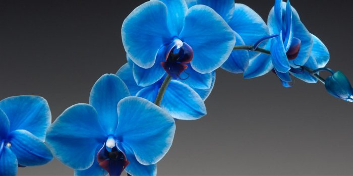 Орхидея (75)