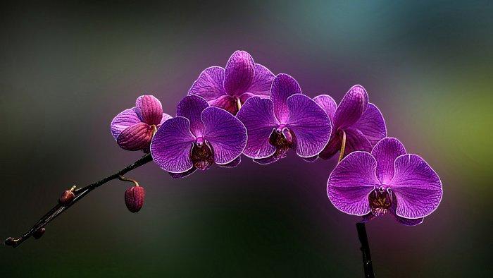 Орхидея (77)