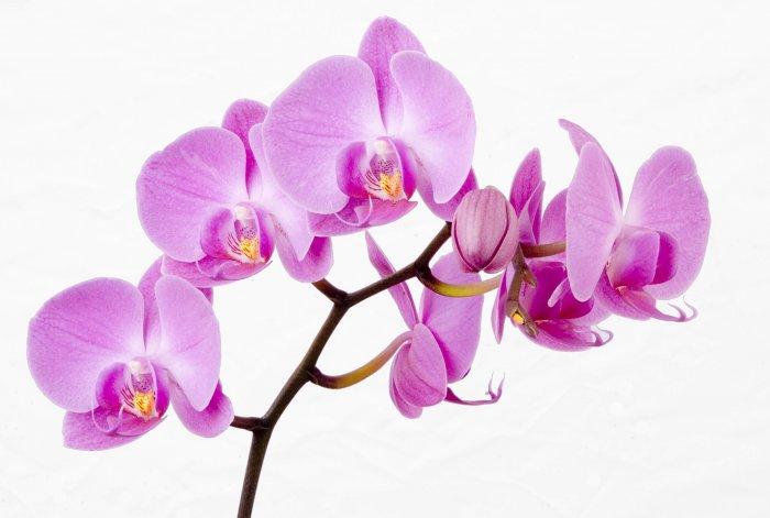 Орхидея (78)
