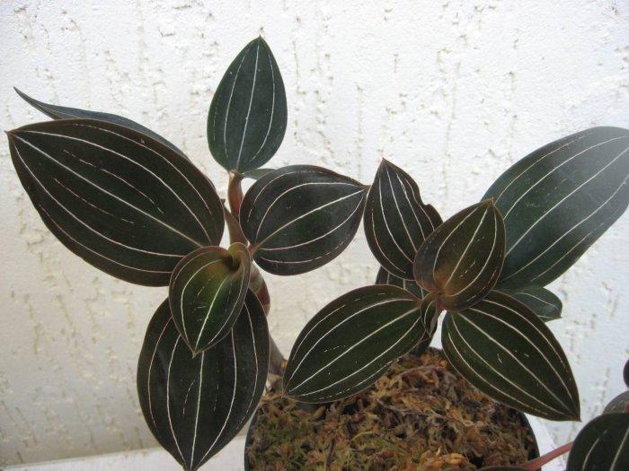 Орхидея (8)