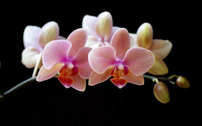 Орхидея (80)