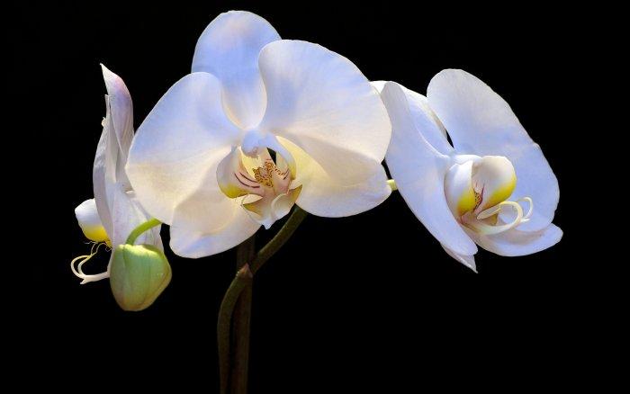 Орхидея (81)