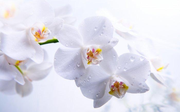 Орхидея (82)