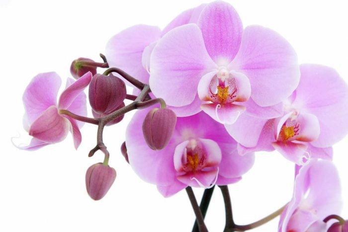 Орхидея (84)
