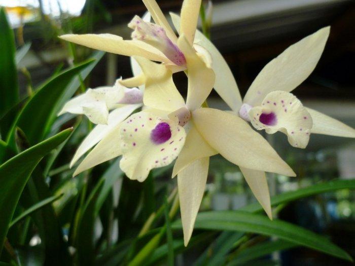 Орхидея (85)