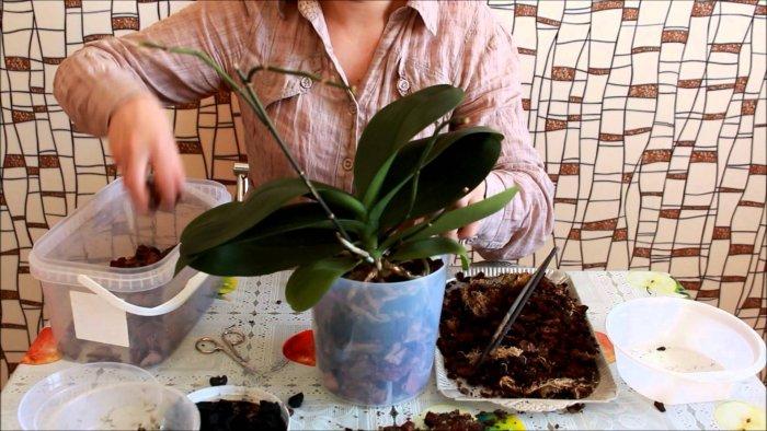 Орхидея (9)