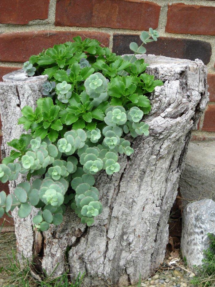 Суккулент - растение (15)
