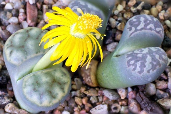 Суккулент - растение (18)