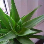 Суккулент - растение (2)