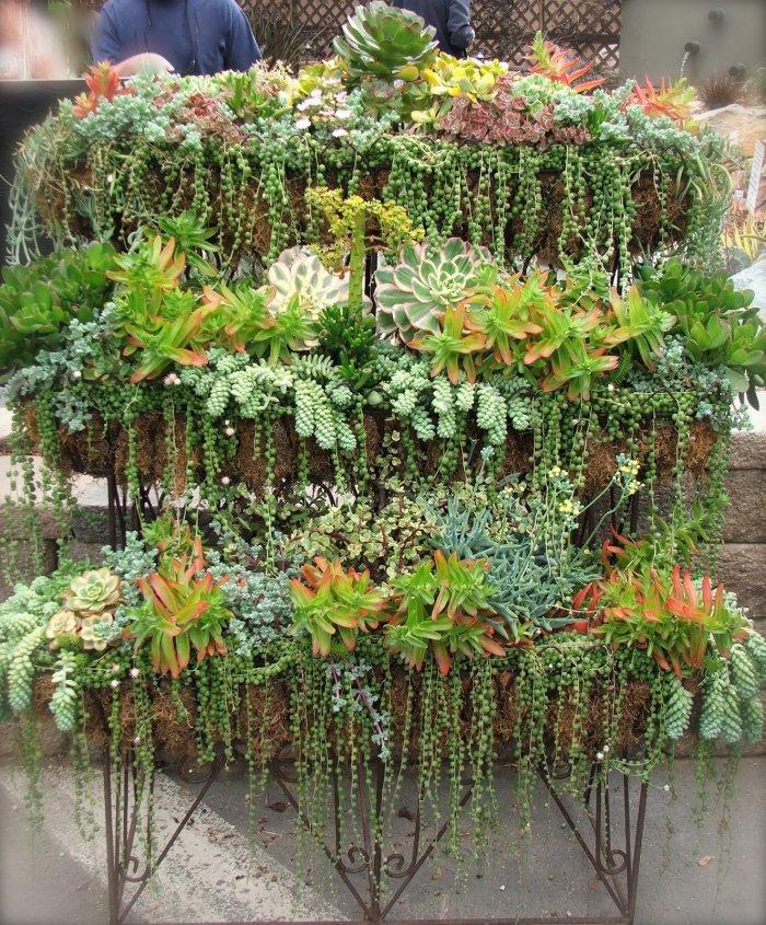 Суккулент - растение (20)