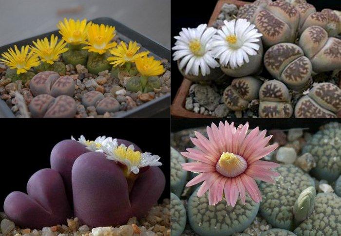 Суккулент - растение (22)