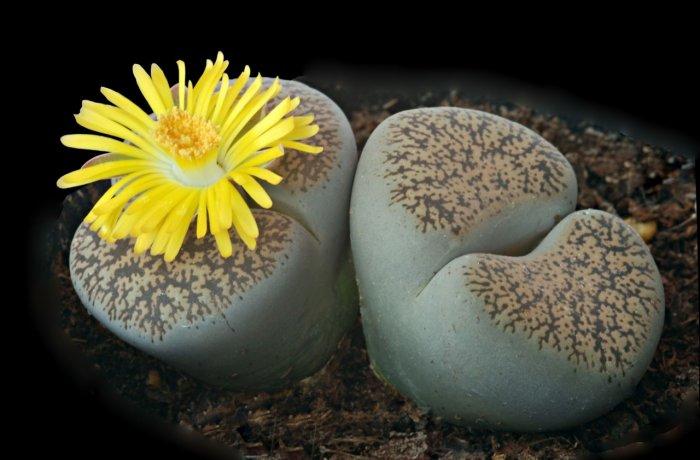 Суккулент - растение (23)