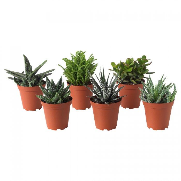 Суккулент - растение (3)