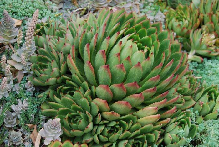 Суккулент - растение (34)