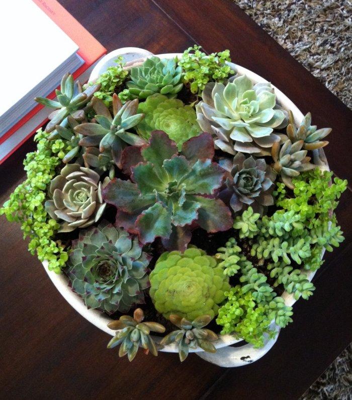 Суккулент - растение (4)