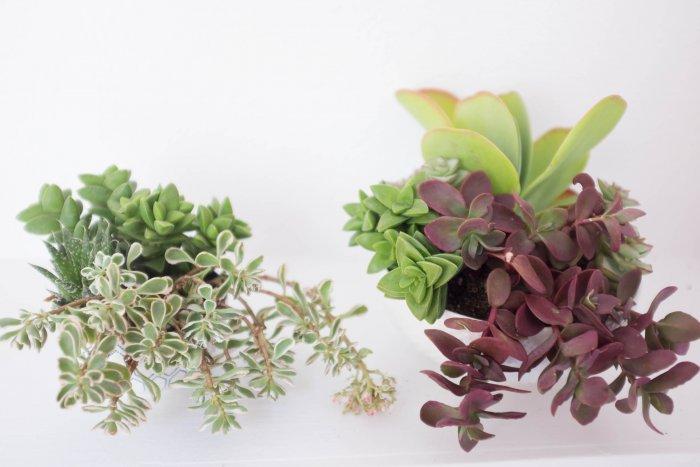 Суккулент - растение (41)
