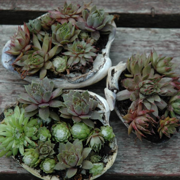Суккулент - растение (44)
