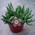 Суккулент - растение (5)