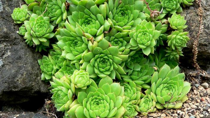 Суккулент - растение (57)