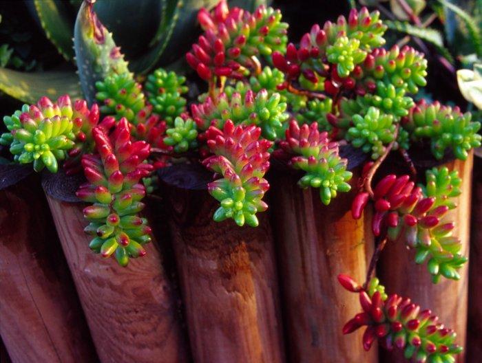 Суккулент - растение (58)